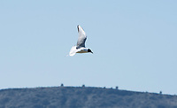 Bonaparte's Gull, Larus philadelphia, flying over Tule Lake National Wildlife Refuge, Oregon