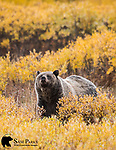Grizzly bear in willows. Bridger-Teton National Forest, Wyoming.