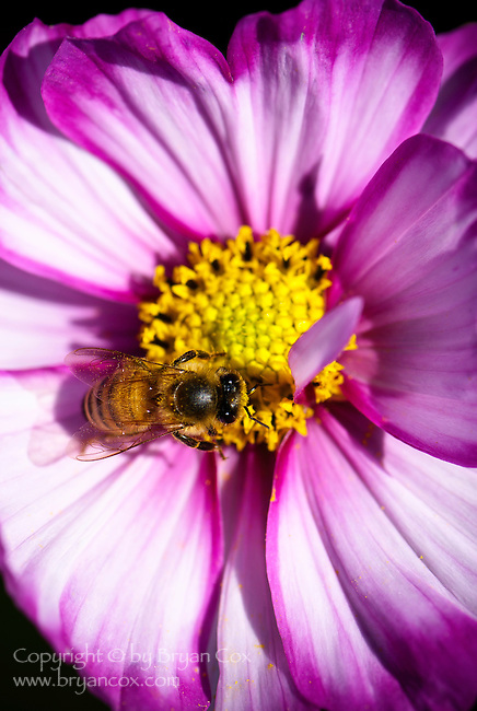 Honey bee and cosmos