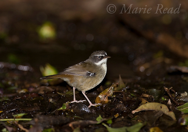 White-browed Scrubwren (Sericornis frontalis)), Lamington National Park, Queensland, Australia