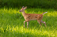 White-tailed fawn high stepping in a northern Wisconsin meadow.