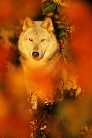 Mw2304  Gray wolf or timber wolf in fall color.  Minnesota.