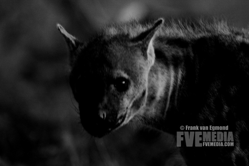 Spotted Hyena after sundown