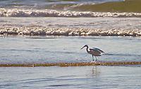 Western Great Egret ( Ardea alba melanorhynchos ) feeds along the beach at Plettenburg Bay in South Africa.