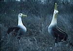 Wave albatross
