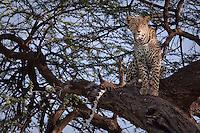 Leopard in Samburu National Park, Kenya