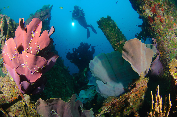 Elephant ear sponge: Ianthella basta, pink variety attached to a shipwreck, with diver onlooking with torch, Solomon Islands