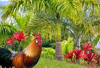 Wild rooster. Kauai, Hawaii