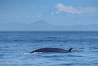 Fin Whale surfaces to breath in the Juan de Fuca Straits and Mt. Baker rises in the background.