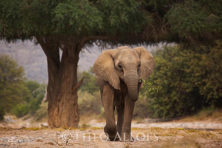 Namibia;  Namib Desert, Skeleton Coast,  desert elephant (Loxodonta africana) walking in dry river bed