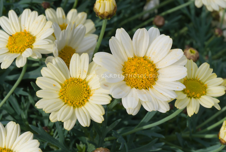 Argyranthemum 'Madeira Monte', pale yellow white annual flowers in Madeira series, daisy type blooms annuals