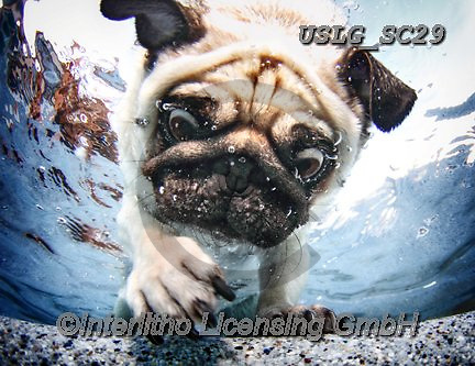 REALISTIC ANIMALS, REALISTISCHE TIERE, ANIMALES REALISTICOS, dogs, paintings+++++SethC_DUNCAN_MG_0171highrev,USLGSC29,#A#, EVERYDAY ,underwater dogs,photos,fotos ,Seth