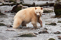 "Kermode ""Spirit"" Bear fishing in a river"