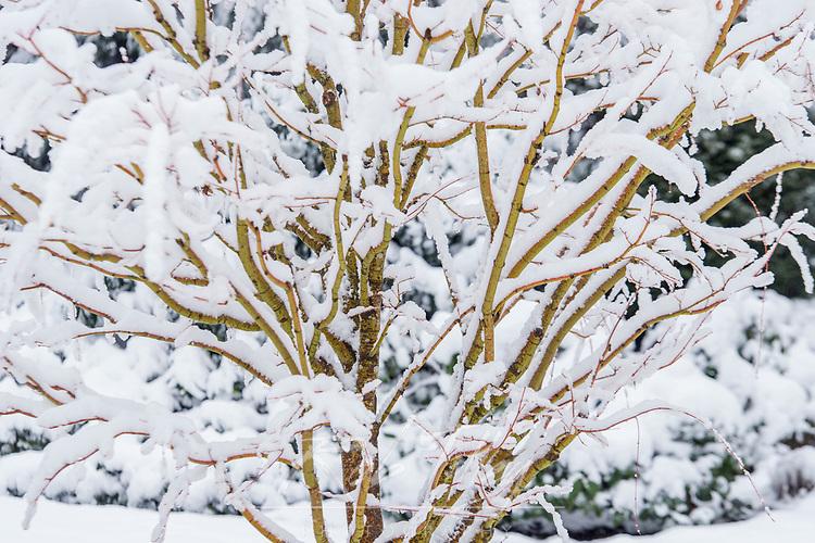 WA, Bellevue, Snowy Tree