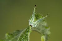 Großer Schillerfalter, Raupe frisst an Salweide, Portrait, Apatura iris, Purple Emperor, caterpillar, Le Grand Mars changeant