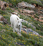 goats are sometimes seen in Yellowstone and also on the Beartooth Highway, just outside the Northeast entrance to the park.
