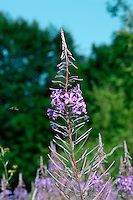 ROSEBAY WILLOWHERB Chamerion angustifolium (Onograceae) Height to 1.5m. Showy perennial of waste ground, cleared woodland and riverbanks, on a wide range of soil types. FLOWERS are 2-3cm across with pinkish purple petals; borne in tall spikes (Jul-Sep). FRUITS are pods that contain cottony seeds. LEAVES are lanceolate and arranged spirally up the stems. STATUS-Widespread and common throughout.