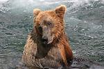 Alaskan brown bear in water at Katmai National Park
