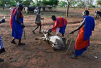 TANZANIA, Korogwe, Massai with Zebu cow in Kwalukonge , animal vaccination to prevent animal disease / TANSANIA, Korogwe, Massai mit Zebu Rindern in Kwalukonge, Tierschutzimpfung zur Vermeidung von Seuchen