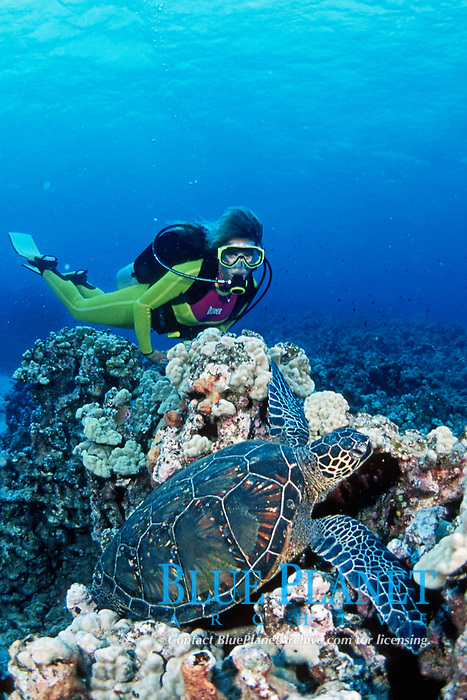scuba diver and a green sea turtle, Chelonia mydas, Maui, Hawaii, USA, Pacific Ocean