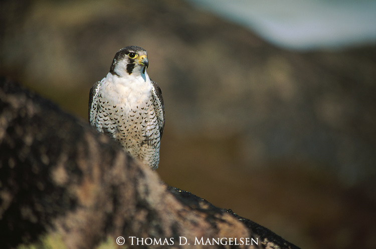 A peregrine falcon perches on a cliff in Wager Bay, Northwest Territory, Canada.