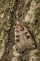 Triangel-Bodeneule, Triangel-Erdeule, Erdeule, Bodeneule, Xestia triangulum, Rhyacia triangulum, Agrotis triangulum, Double Square-spot, La Noctuelle de la Chélidoine, Eulenfalter, Noctuidae, noctuid moths, noctuid moth