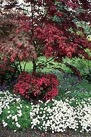 Acer palmatum Japanese maple tree , Azalea, Scilla, Iberis in spring flowering garden