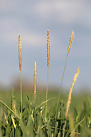 Blackgrass in Winter wheat<br /> ©Tim Scrivener Photographer 07850 303986<br />      ....Covering Agriculture In The UK....