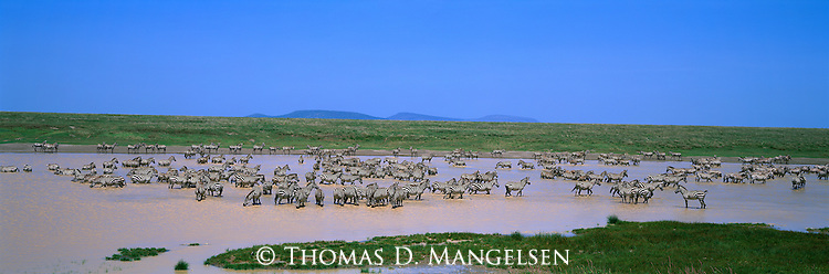 Zebras on the flooded plains of Serengeti National Park, Tanzania.