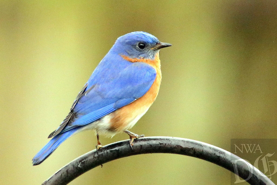 Courtesy photo/PHYLLIS KANE<br /> BACK YARD BLUEBIRD<br /> A bluebird is seen March 29 in Fayetteville. Phyllis Kane of Fayettevill took the picture at her home.