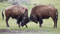 Young male bison spar throughout the year.