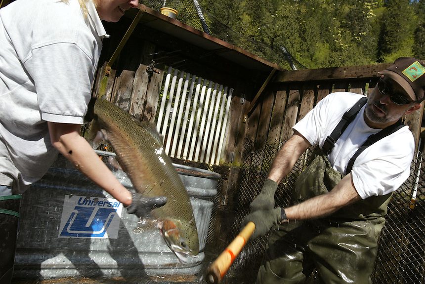 Oregon Department of Fish and Wildlife hatchery technician Colleen Weiss holds anethestized summer steelhead trout while experimental biologist aide Manuel Annear clubs the fish to be spawned later at the Rock Creek Fish Hatchery, a tributary of the North Umpqua River Tuesday May 13, 2003. Hatchery employees also spawn salmon and other trout which the use to the lakes and streams of the North Umpqua River.