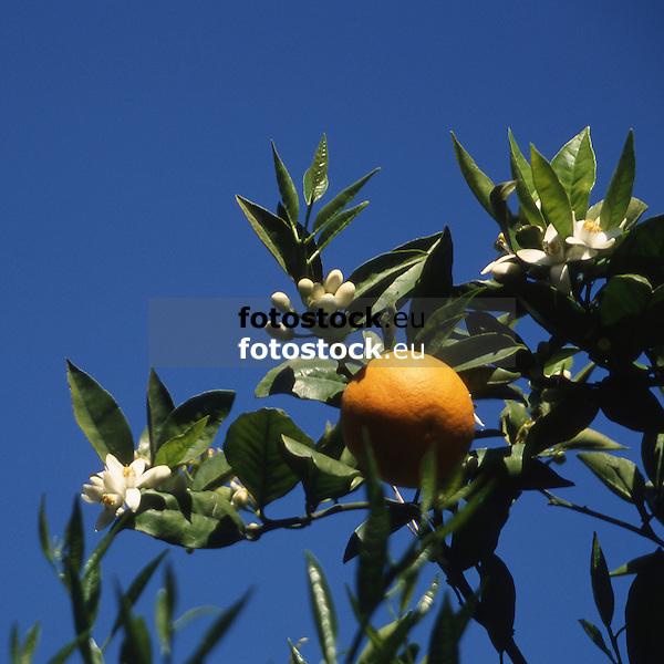 Ripe orange fruit and white blossoms against deep blue sky<br /> <br /> Naranja madura y azahares con cielo azul<br /> <br /> Reife Orange und wei&szlig;e Orangenbl&uuml;ten gegen tiefblauen Himmel<br /> <br /> 3448 x 3448 px<br /> 150 dpi: 58,39 x 58,39 cm<br /> 300 dpi: 29,19 x 29,19 cm<br /> original: 35 mm slide transparency