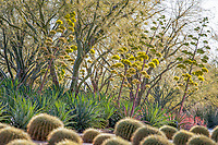 Agave desmettiana -Smooth Agave flowering in Sunnylands garden, Southern California