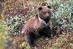 Grizzly Bear (Ursus arctos) Denali National Park, AK