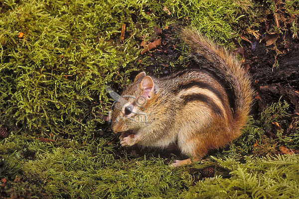 The Least Chipmunk (Eutamias minimus) is native to Southern Canada and Western U.S.A.