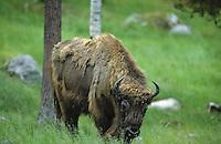 Wisent, Europäisches Bison, Bison bonasus, European bison, wisent, Wildrind