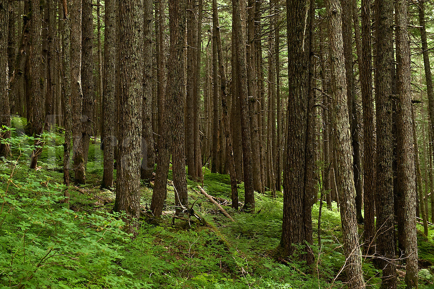 Spruce forest, Winner Creek, Chugach National Forest, Alaska, USA