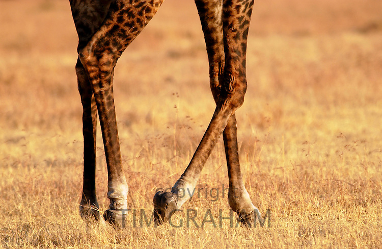 Giraffe hooves, Grumeti, Tanzania RESERVED USE - NOT FOR DOWNLOAD -  FOR USE CONTACT TIM GRAHAM