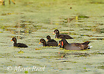 Common Gallinules (Gallinula chloropus), adult swimming with five downy chicks, Montezuma National Wildlife Refuge, New York, USA