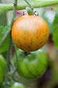 Striped 'Tigerella' tomato, late August.