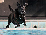 Millie plays at the fourth annual Pooch Plunge at the Carson Aquatic Facility in Carson City, Nev., on Saturday, Sept. 22, 2012. The Parks 4 Paws event helps raise funds for local dog projects..Photo by Cathleen Allison