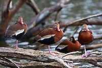Group of black-bellied whistling ducks resting at lake at Edinburg WBC