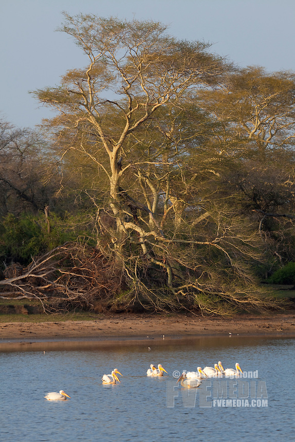 Pink backed pelicans and Fever trees at the Nyamity Pan, nDumo Game Reserve, South Africa.