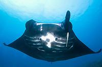 reef manta ray missing a cephalic fin, Manta alfredi, Raja Ampat, West Papua, Indonesia, Pacific Ocean