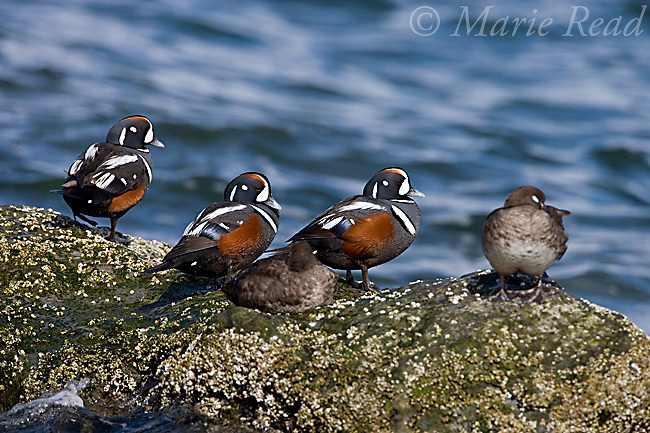 Harlequin Ducks (Histrionicus histrionicus), males and females, New Jersey, USA