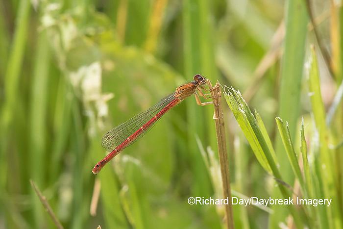 06061-00106 Eastern Red Damsel (Amphiagrion saucium) female Dent Co. MO