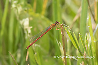 06061-00106 Eastern Red Damsel (Amphiagrion saucium) female Dent Co. MO
