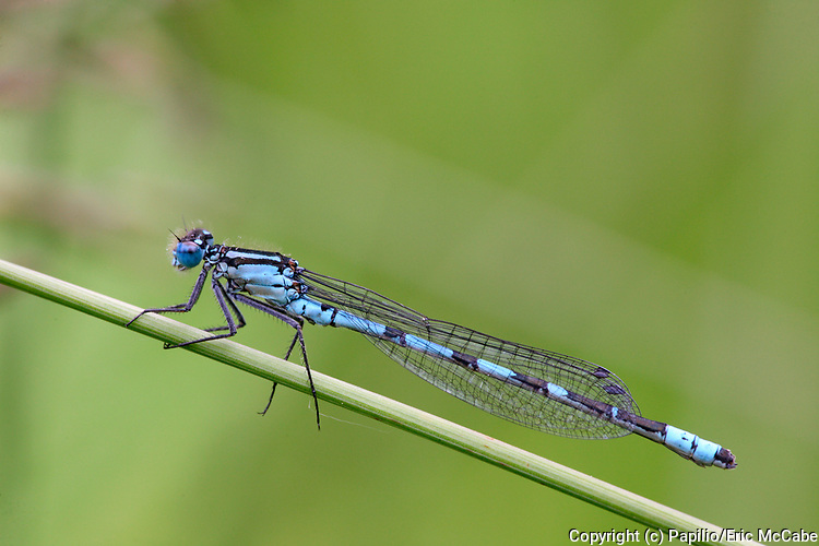 Common Blue Damselfly, Enallagma cyathigerum male resting by pond in Perthshire<br /> nature<br /> wildlife<br /> british<br /> britain<br /> Scotland<br /> insect<br /> odonata<br /> damselfly<br /> blue<br /> male<br /> UK<br /> Enallagma cyathigerum<br /> Enallagma<br /> closeup<br /> close-up<br /> pond<br /> loch<br /> lochan