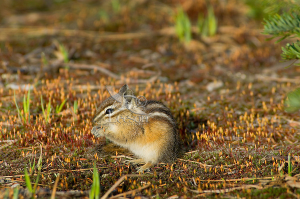 Yellow-pine Chipmunk (Tamias amoenus) eating haircap moss sporophytes in subalpine meadow (near timberline).  Pacific Northwest.  June.